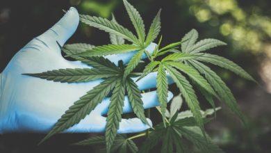 Photo de Startups de cannabis: ce que vous devez savoir